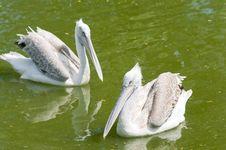 Free Dalmatian Pelican (Pelecanus Crispus) Royalty Free Stock Photos - 19901348