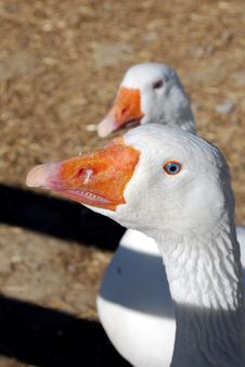 Free Geese Royalty Free Stock Photography - 19901647