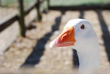 Free Goose Royalty Free Stock Photography - 19901667