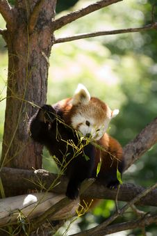 Free Red Panda Stock Images - 19902004