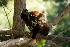 Free Red Panda Stock Photo - 19902070