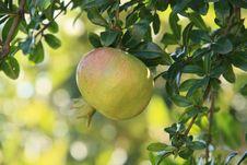 Free Pomegranate Fruit Stock Photo - 19902340
