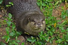 Free Otter Royalty Free Stock Images - 19902369