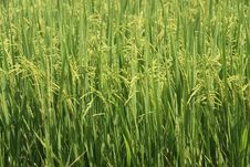 Free Rice Paddy-field Royalty Free Stock Photography - 19902387