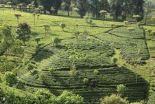 Free Tea Plantation Royalty Free Stock Photos - 19902528