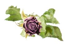 Free Rose Stock Photography - 19903102