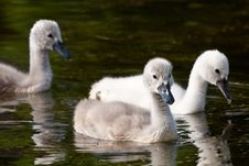 Free Juvenile Swans In The Water Royalty Free Stock Photo - 19903415