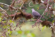 A Grey-Fronted Dove Stock Photo