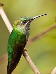 Portrait Of A Long-tailed Sylph Royalty Free Stock Images