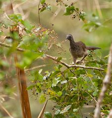 Free The Speckled Chachalaca Stock Image - 19904491