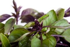 Free Mix Of Green And Purple Basil Royalty Free Stock Photography - 19904737