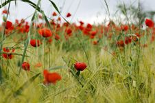 Free Poppy Field Royalty Free Stock Images - 19905719