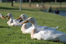 Free Ducks Resting Stock Images - 19906384