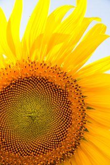 Free Sunflower Stock Photo - 19906590