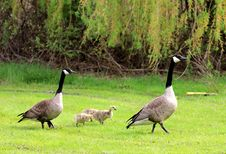 Free Geese  Family Stock Photography - 19908062