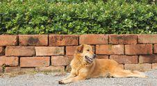 Free Thai Dog Lying On A Ground Stock Photos - 19908823