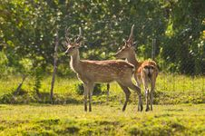 Deers In Farm Royalty Free Stock Photography