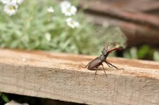 Free Stag-beetle Stock Image - 19909701