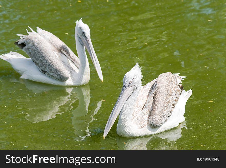 Dalmatian Pelican (Pelecanus crispus)