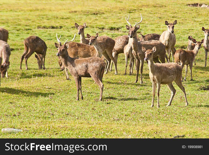 Deers in farm