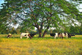 Free Cows Feeding On Grass Royalty Free Stock Image - 19911316