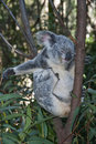 Free Koala Bear. Royalty Free Stock Photo - 19913975