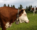 Free Cow. Stock Photography - 19915902