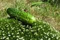 Free Fresh Cucumber On A Green Grass Stock Photos - 19916693