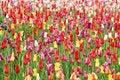 Free Tulip Royalty Free Stock Photo - 19918535