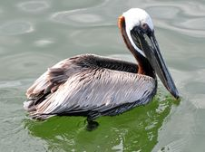 Free A Brown Pelican Royalty Free Stock Photos - 19910978
