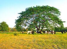 Cows Feeding On Grass Stock Photos