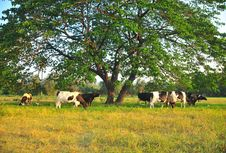 Cows Feeding On Grass Royalty Free Stock Image