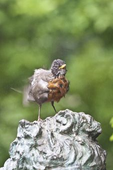 Free North American Robin[2] (Turdus Migratorius) Royalty Free Stock Photos - 19911898