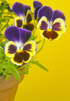 Free Purple Pansies In A Clay Pot Stock Photo - 19912690