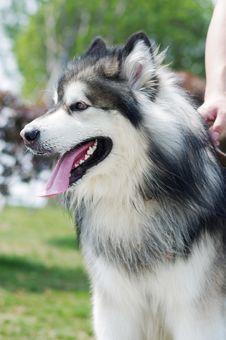 Free Alaskan Malamute Dog Royalty Free Stock Photography - 19913207