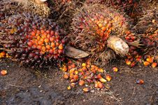 Free Palm Oil Fruits Royalty Free Stock Images - 19913249