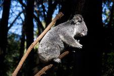 Free Koala Bear. Royalty Free Stock Photo - 19913305