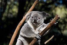 Free Koala Bear. Royalty Free Stock Photos - 19913348