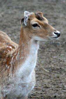 Free Fallow Deer Stock Image - 19913851