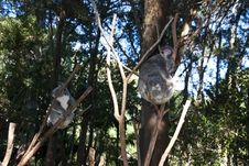Free Koala Bear. Royalty Free Stock Photography - 19913857