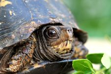 Free Turtle Close Up Royalty Free Stock Photos - 19914108