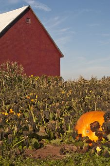 Free Pumpkin Patch Stock Image - 19915881