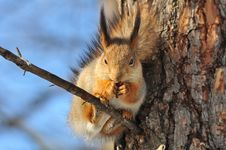 Free Red Squirrel. Royalty Free Stock Photo - 19916345