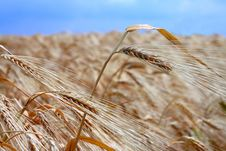 Free Yellow Wheat Field Royalty Free Stock Images - 19917289