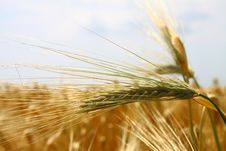Free Yellow Wheat Field Stock Photo - 19917650