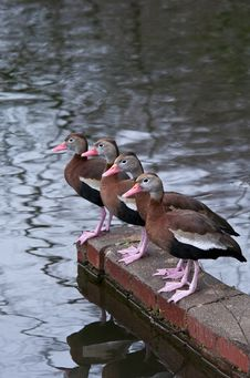 Free Black-Bellied Whistling Ducks Royalty Free Stock Photos - 19918038