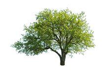 Free Tree Royalty Free Stock Photo - 19918315