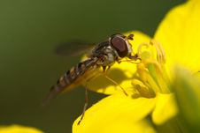 Free Hoverfly Eating Nectar Royalty Free Stock Photo - 19918465