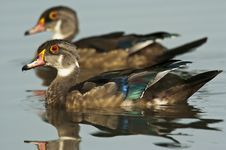 Free Woodduck Drakes In Eclipse Plumage Stock Image - 19918881