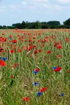 Free Grain Field With Poppies Royalty Free Stock Image - 19919866